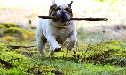 Why English Bulldogs are So Expensive And People Still Have to Have Them